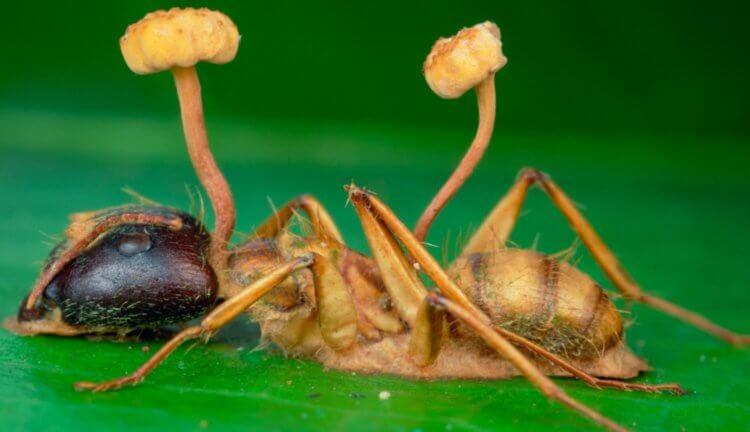 Гриб-паразит | апокалипсис вики | fandom