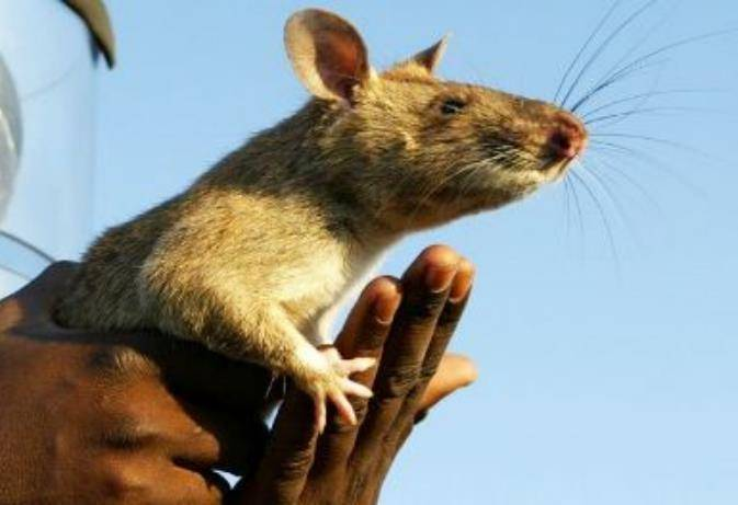Необычный грызун из африки: гамбийская хомяковая крыса