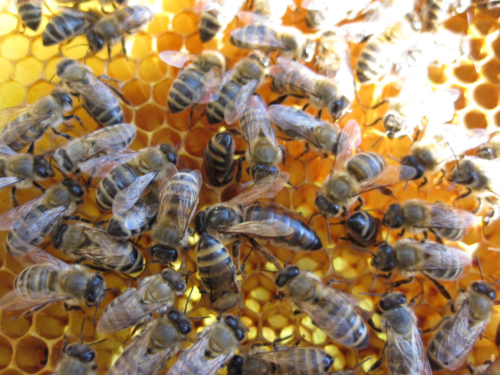 Карпатские пчелы — характеристика, возможности для разведения в средней полосе.   cельхозпортал