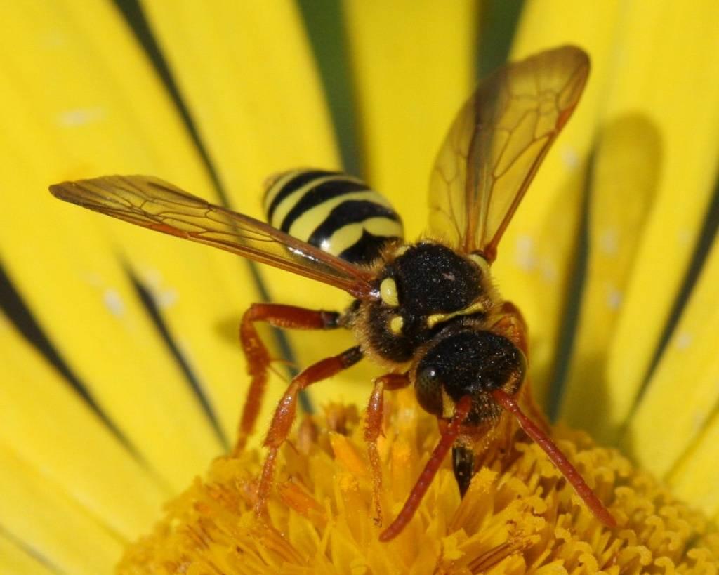 Главные признаки, как отличить осу от пчелы. медоносная пчела и обыкновенная оса