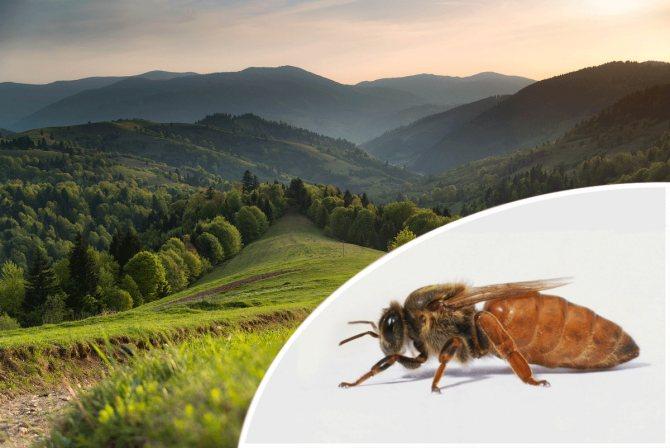 Что лучше пчелы карника или карпатка