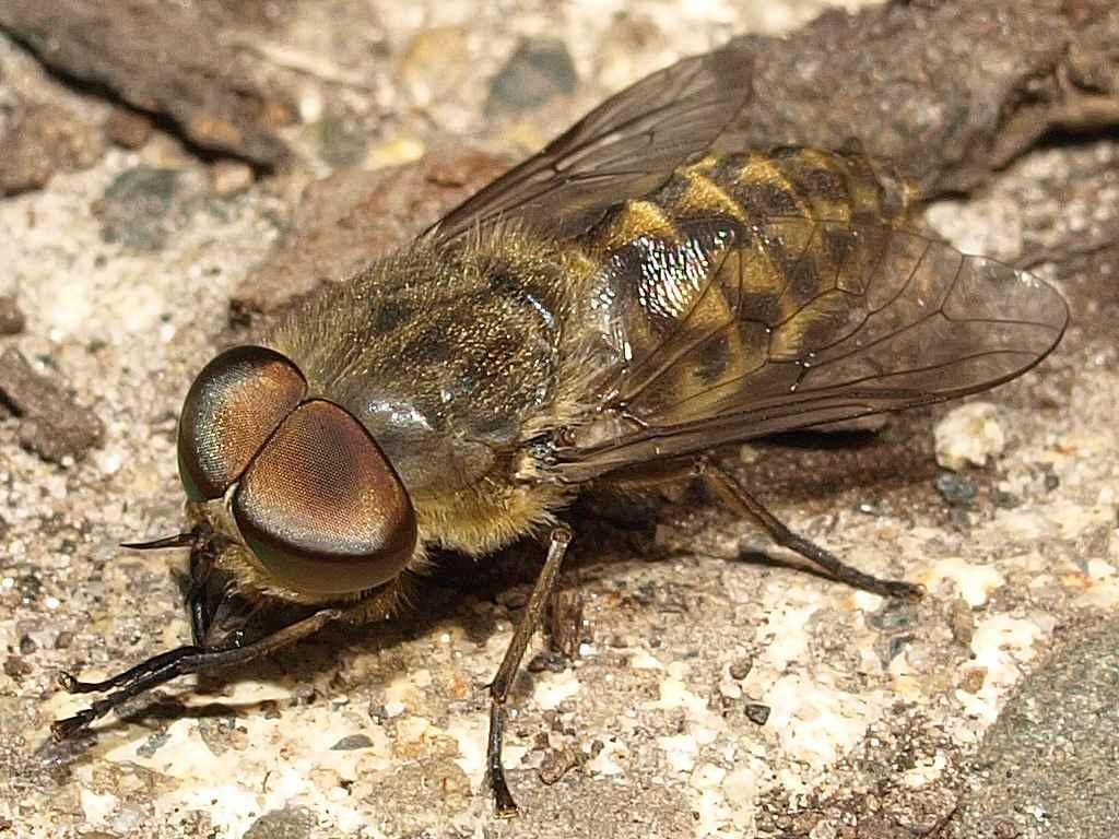 Овод насекомое. описание, особенности, виды, образ жизни и среда обитания овода | живность.ру