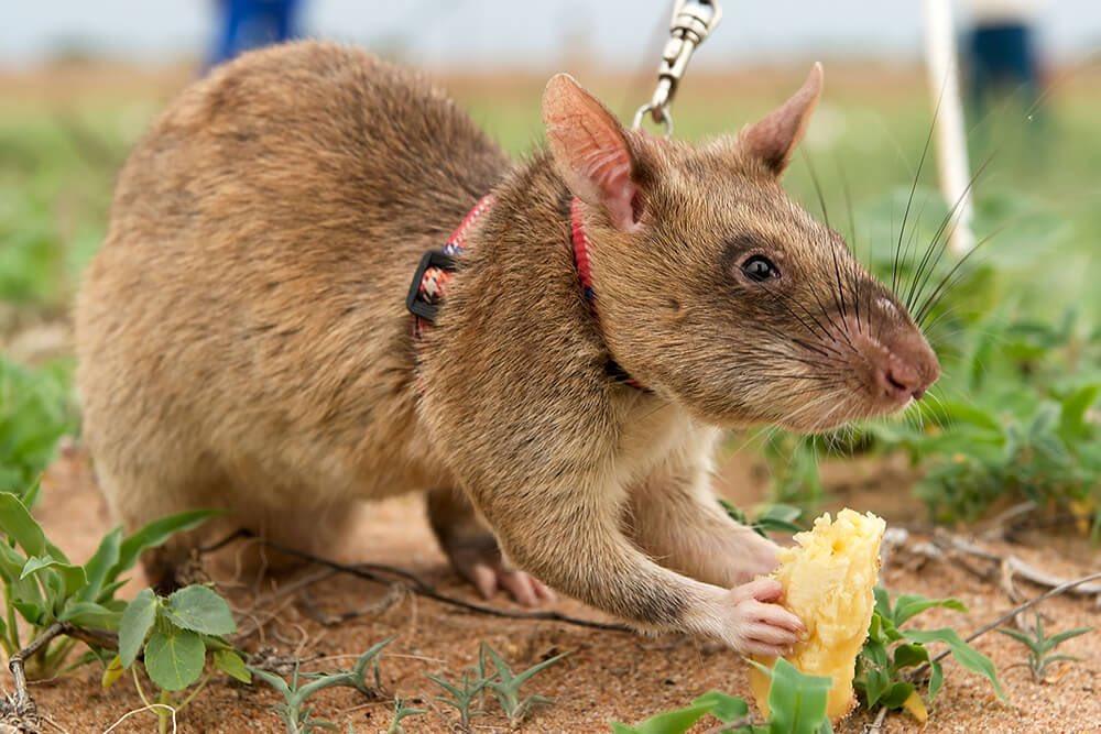 Самая большая крыса в мире: фото гиганских и редких особей