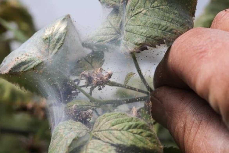 Паутина на смородине – как бороться и чем обработать плодовый кустарник