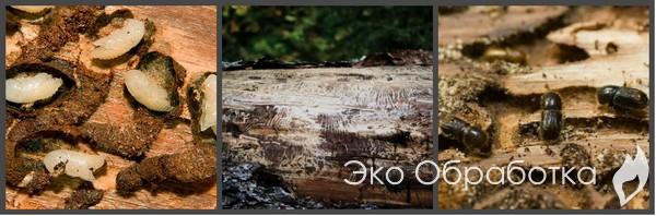Как избавиться от короеда в деревянном доме: практические советы по спасению жилища
