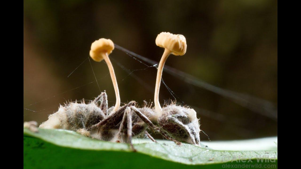 Кордицепс: описание уникального гриба, польза и вред