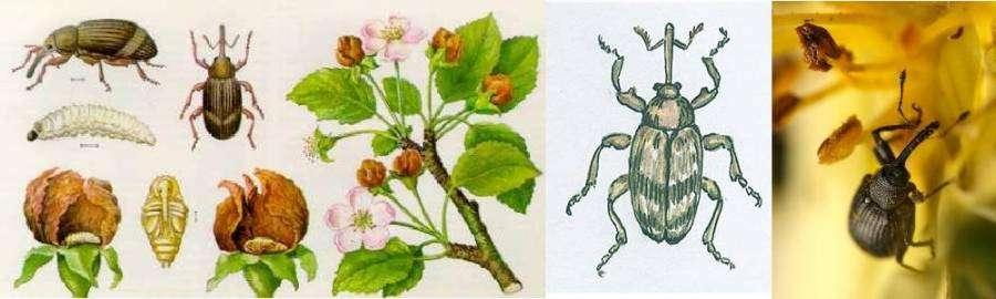 Как бороться с яблонным цветоедом - средства борьбы, профилактика