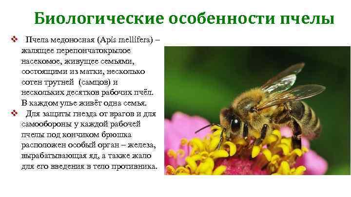 Медоносная пчела: вид, строение и зрение