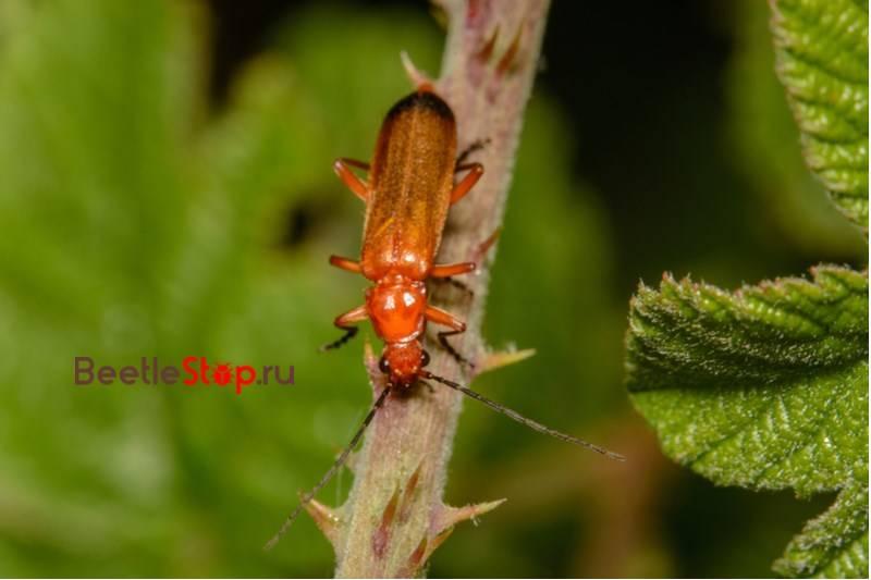 Мягкотелка рыжая— оранжевый истребитель на огороде