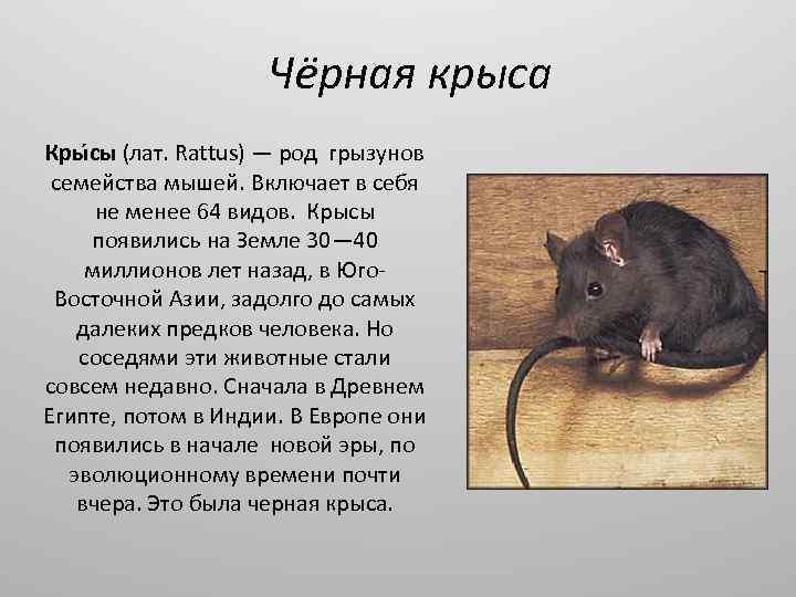 Звуки крысы: как распознать голосовые сигналы грызунов