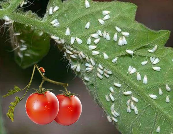 Как успешно бороться с белокрылкой на помидорах?