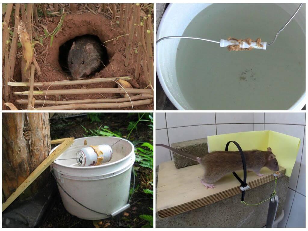 Как поймать крысу в доме: самодельные способы, покупные ловушки