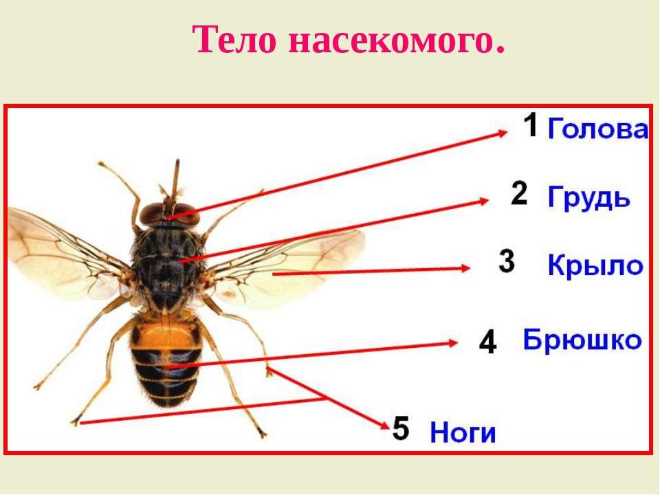 Мышечная система насекомых