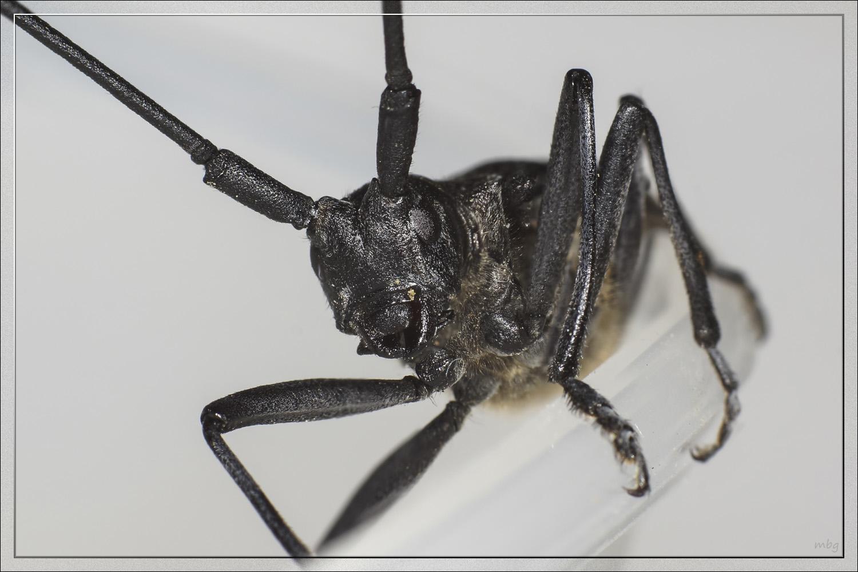Отличительные черты малого и большого черного елового усача: внешний вид, питание и ареал обитания