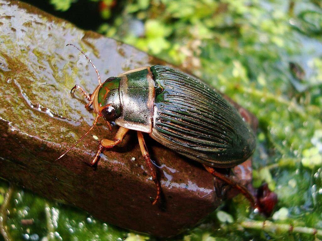 Плавунцы: хищные насекомые водоёмов, их развитие от личинки до жука