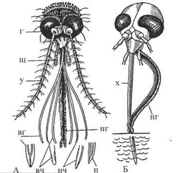 Интересный вопрос: чем питаются различные виды комаров?