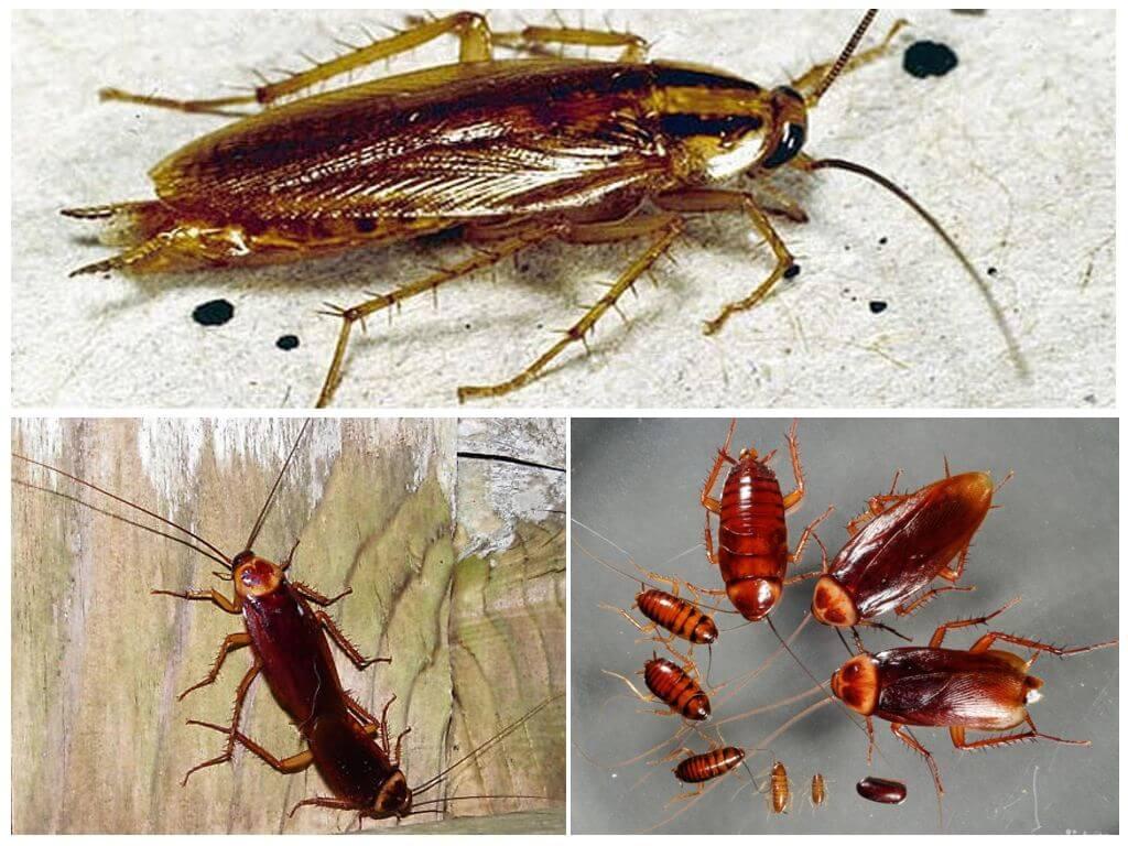 Какие виды тараканов могут жить в квартирах и домах