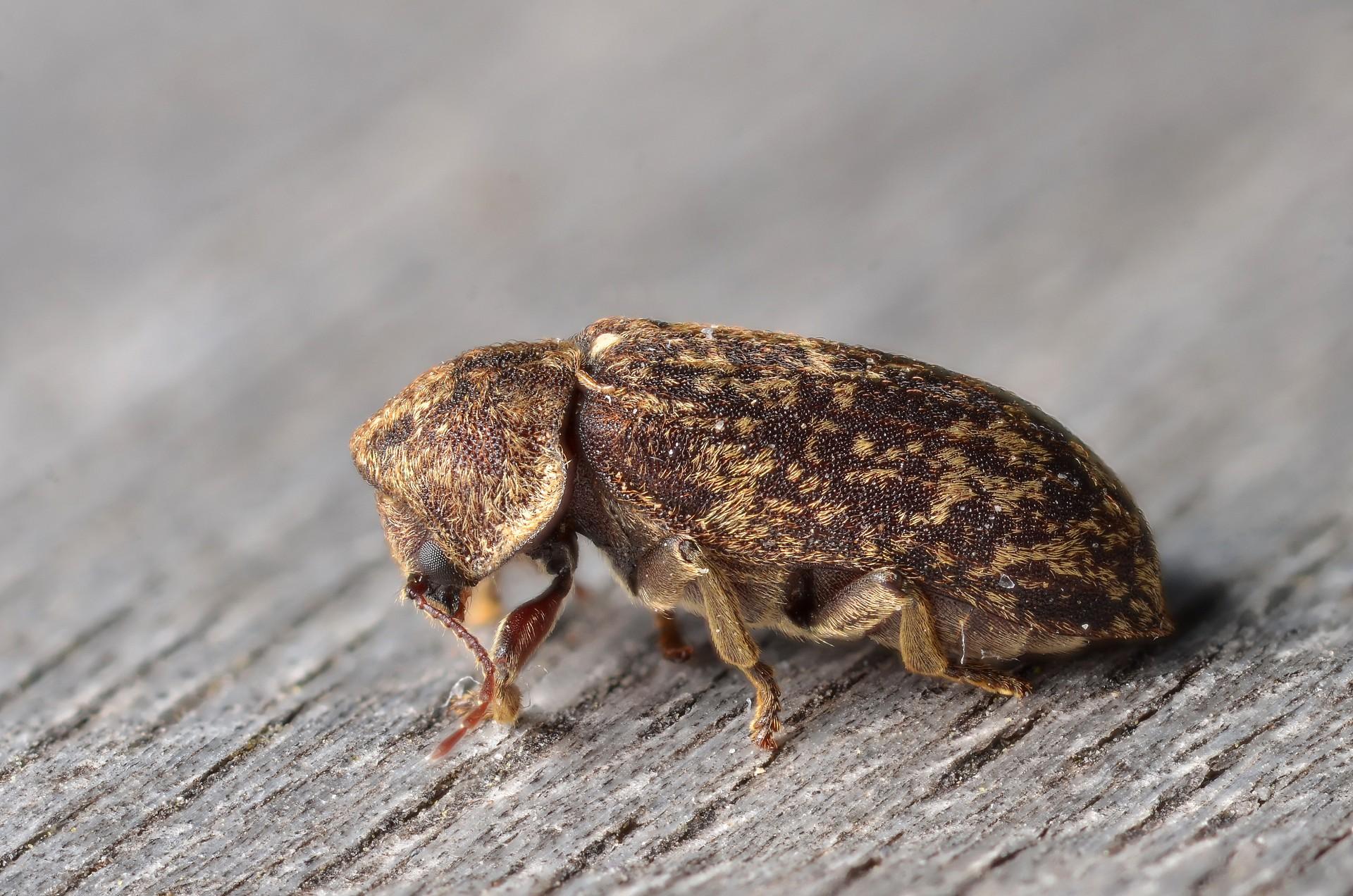 Древесный жук: виды точильщиков и методы борьбы с ними