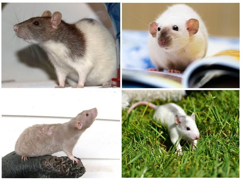 Летучая мышь вампир, белая, фруктовая, свиноносая, бульдоговая и другие виды рукокрылых русский фермер
