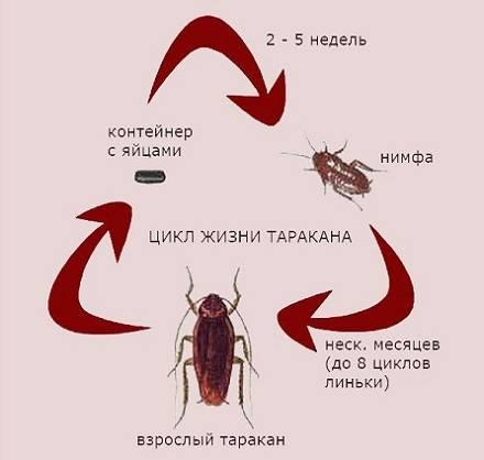 Сколько живут домашние тараканы – этапы развития