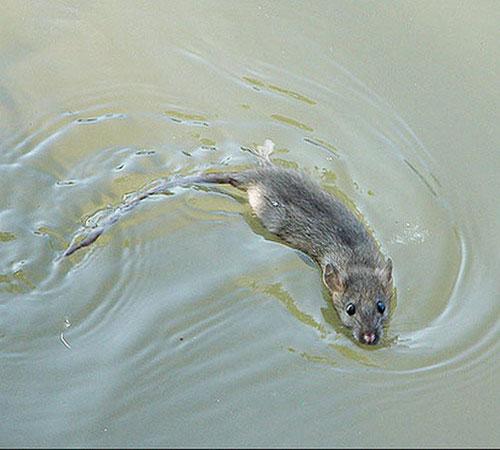 Куда бегут крысы с тонущего корабля?  - «как и почему»