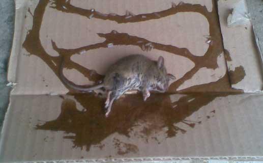 Клей для мышей и крыс: инструкция использования и как сделать своими руками