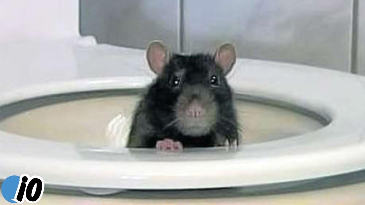 Крысы в канализации и из унитаза: откуда берутся, и как избавиться / как избавится от насекомых в квартире