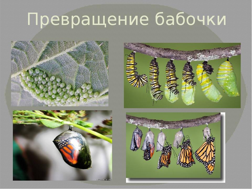 Волшебное превращение: очаровательные гусеницы, которые становятся прекрасными бабочками