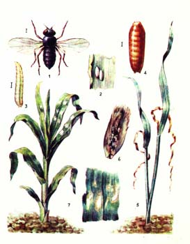 Пчеловидка цепкая: особенности развития потомства в грязной среде