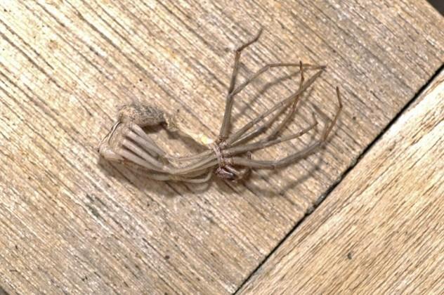 Линька паука птицееда: признаки и фото
