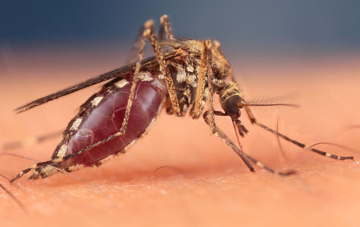 Продолжительность и цикл жизни комара