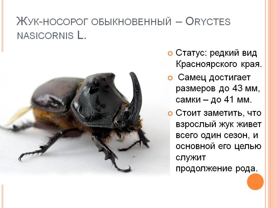 Бронзовка жук. описание, особенности, виды и среда обитания жука бронзовки | живность.ру