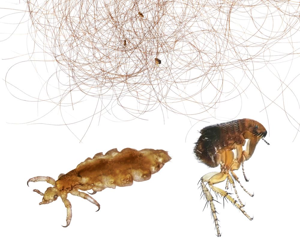 Живут ли вши под кожей головы человека. существует ли подкожная форма педикулеза? особенности и строение насекомых