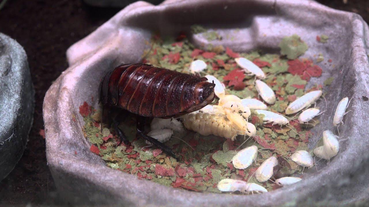 Как размножаются тараканы мадагаскарские