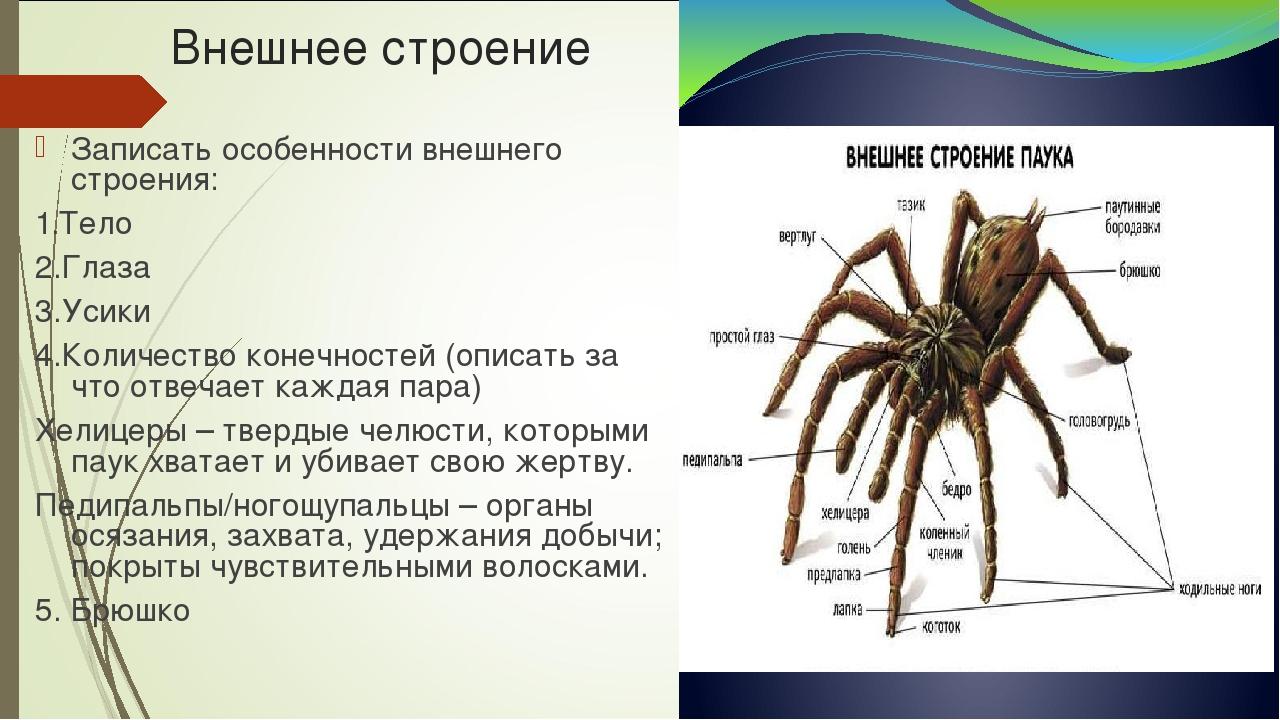 Паукообразные. общая характеристика, внешнее и внутренне строение