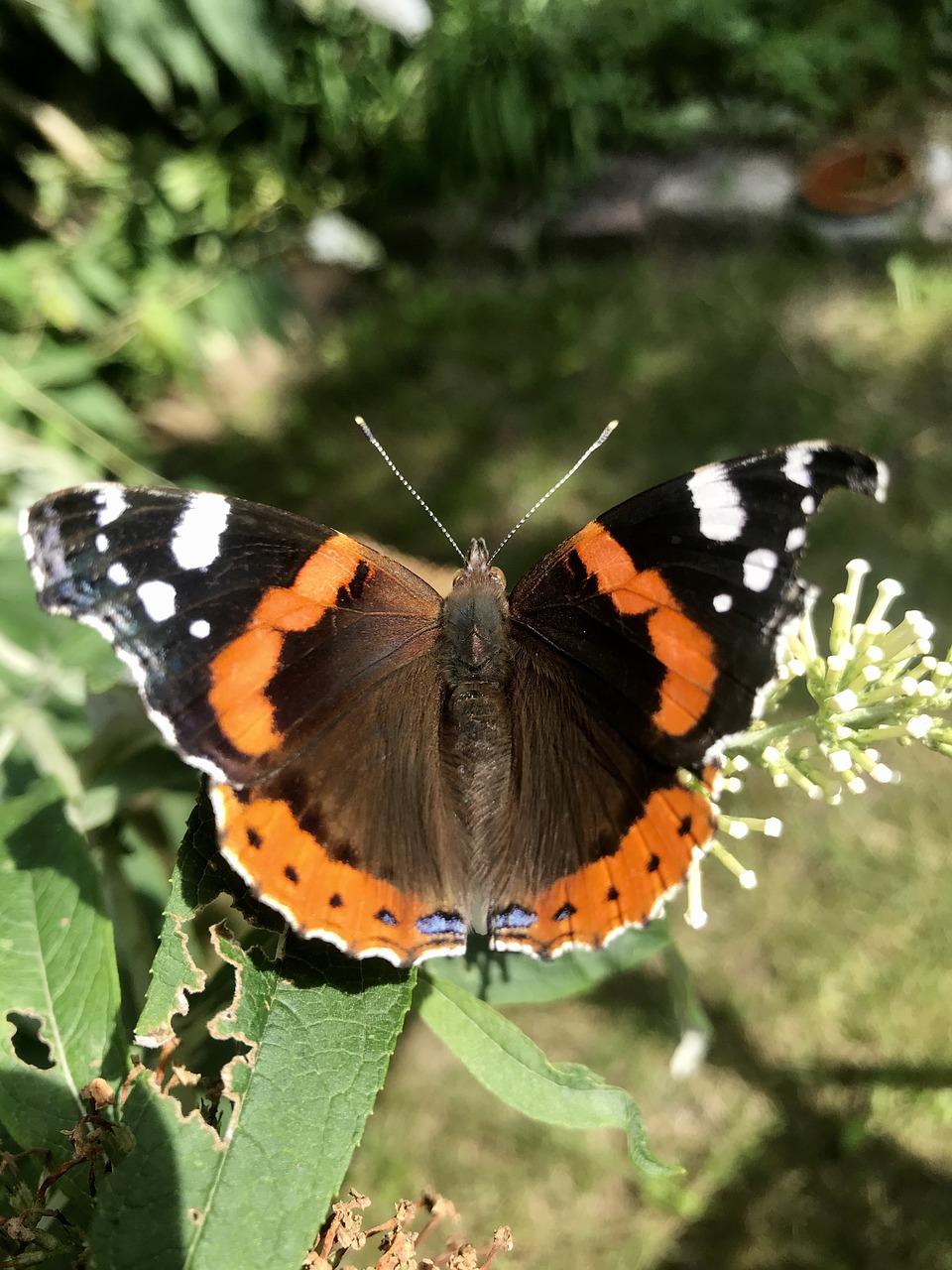Бабочка монарх данаида, сколько живет, фото, описание и миграция