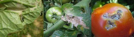 Как бороться с совкой на помидорах: эффективные средства