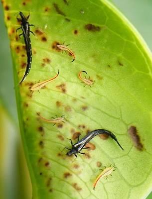 Чем вывести трипс в хризантеме и других комнатных растениях: разновидности и способы борьбы с трипсом