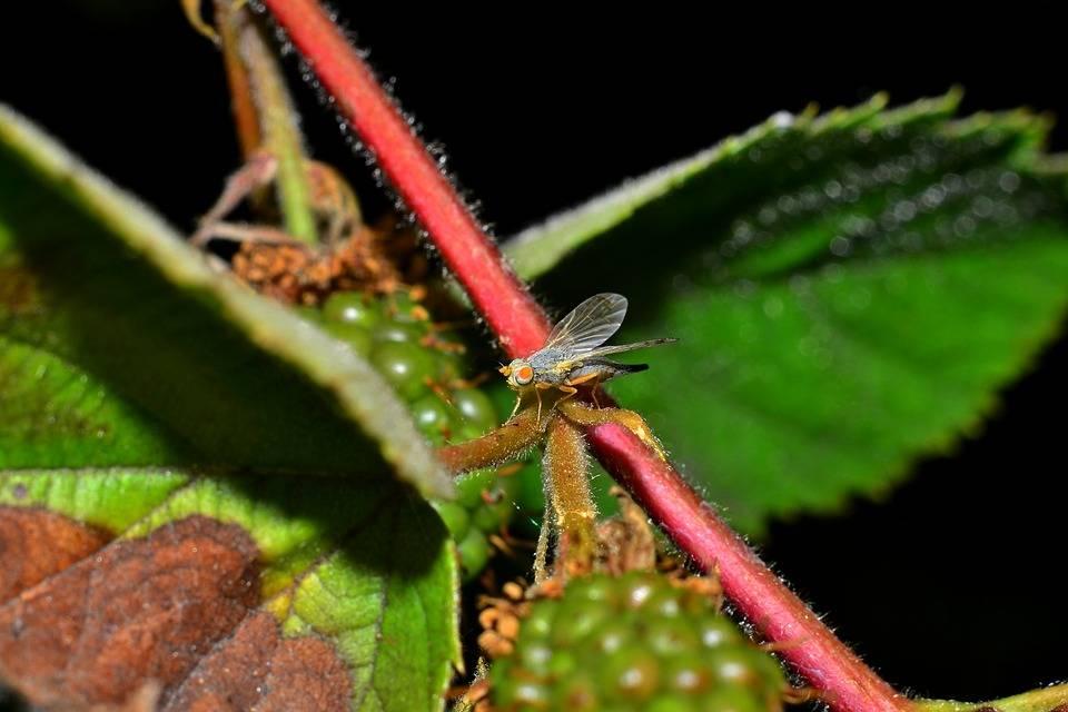 Что представляют собой вредители малины и как с ними бороться