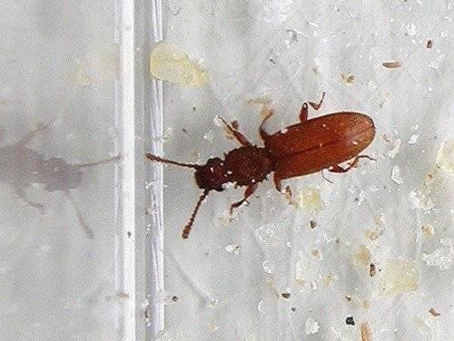 Как избавиться от жучков в крупе. эффективные и безопасные методы борьбы с насекомыми