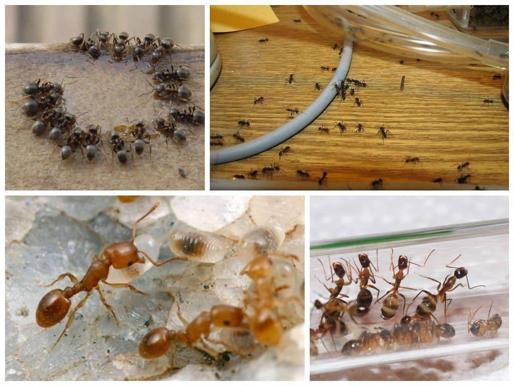 Откуда появляются муравьи в квартире и как с ними бороться?