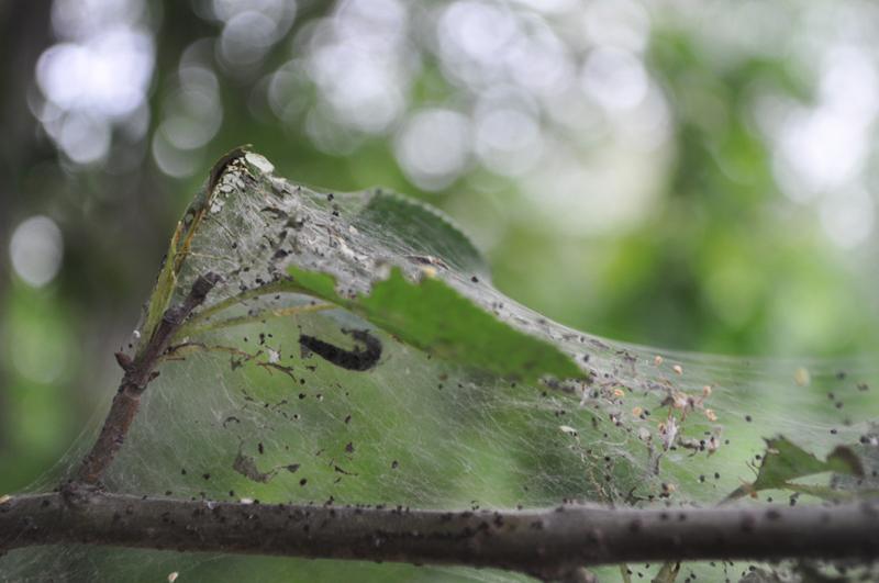 Яблонная зеленая тля и другие виды: откуда берутся, какой вред приносят деревьям и как с ними бороться?
