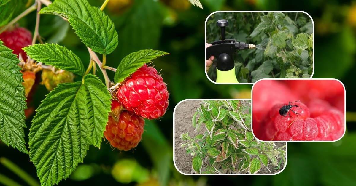 Вредители малины: описание, фото и борьба с ними