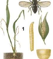 Личинка мухи пчеловидки
