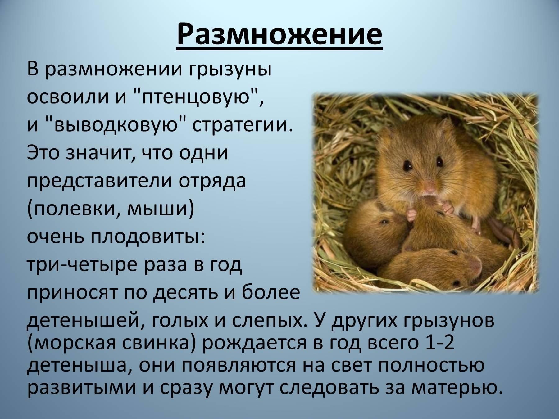 Необыкновенная мышь из моря