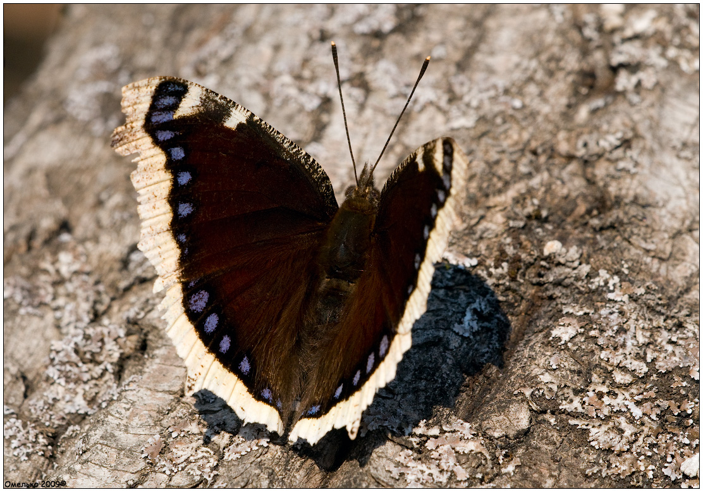 Бабочка брюквенница: фото и образ жизни распространенного вида