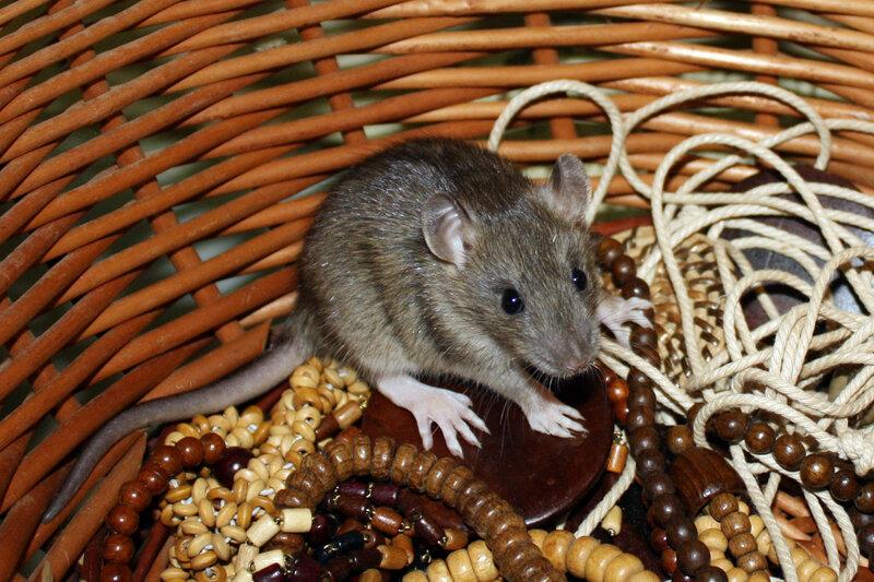 Виды крыс - фото и описание