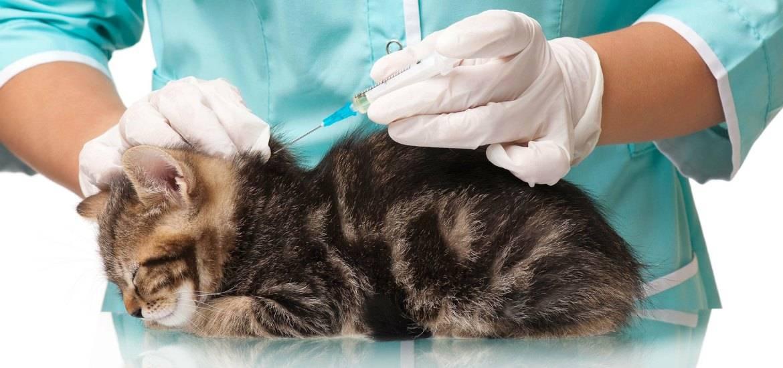 Обязательные прививки для кошек   компетентно о здоровье на ilive