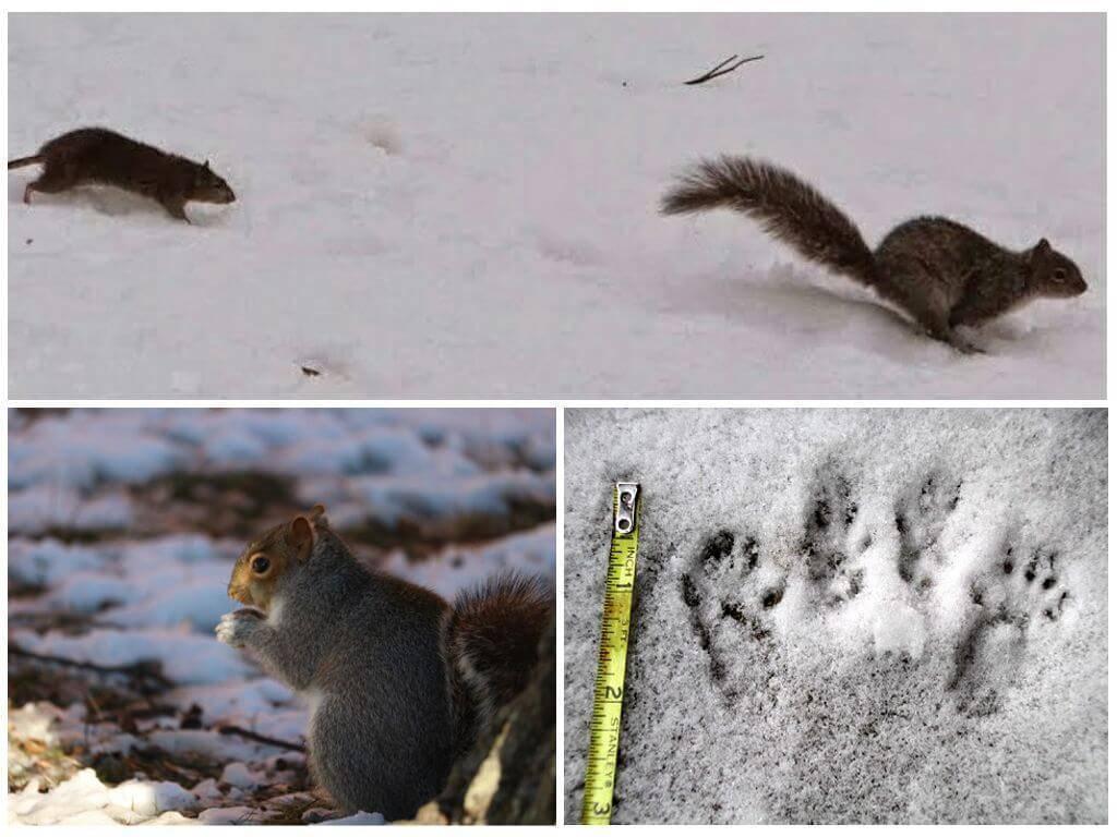 Крыса: фотоматериалы и описание разновидностей грызунов, отличие от мышей, размеры следов на снегу зимой,чем питаются на даче, умеют ли плавать, размножение в природе русский фермер
