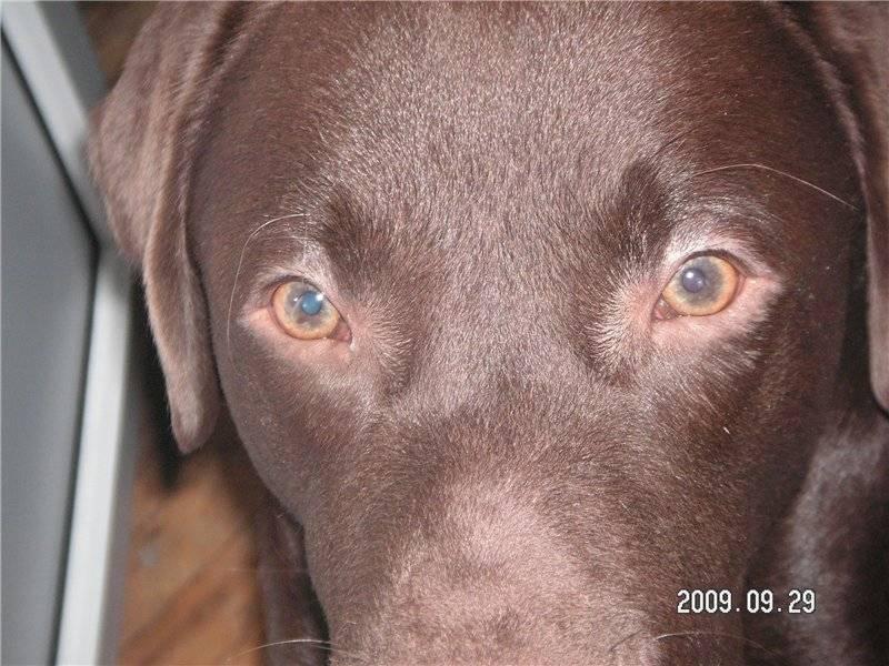 Укусы комара у собаки. что делать, если собаку покусали комары и мошки собаку укусил комар в глаз